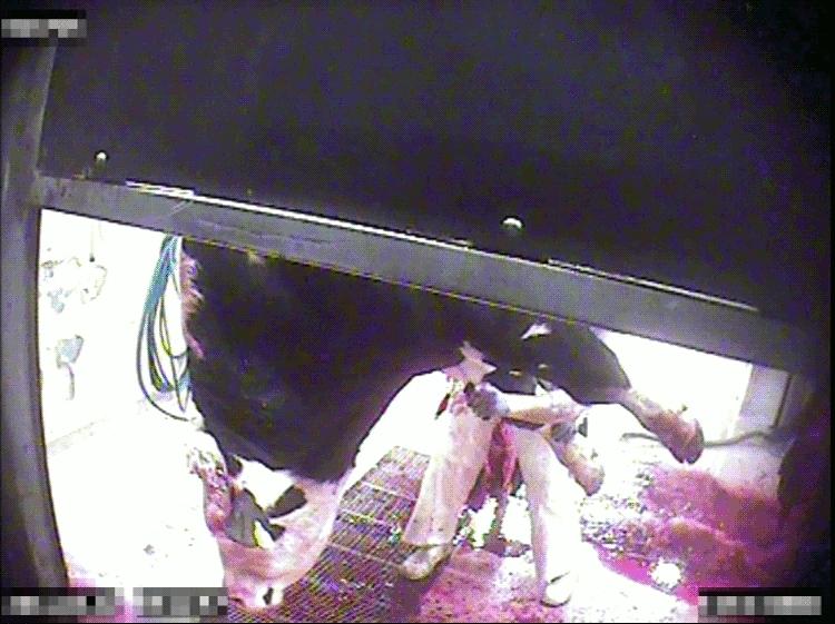 En hängande tjur får halsen uppskuren och rykande blod forsar ut