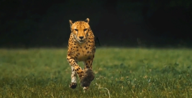 Running cheetah animated gif