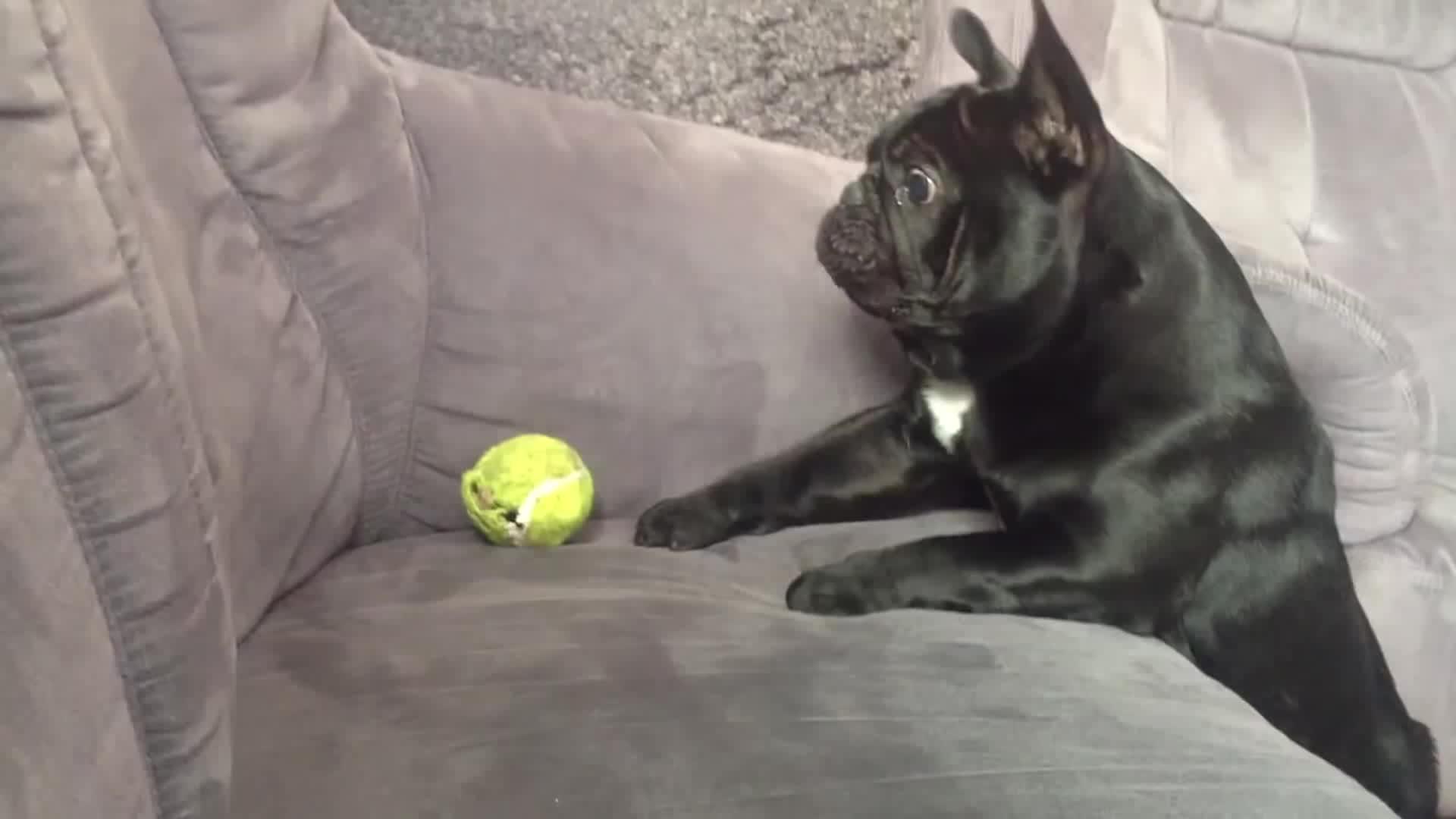 Cute bulldog puppy gif