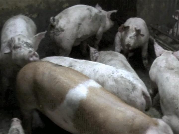 Närbild på grisar som går omkring i en trång box