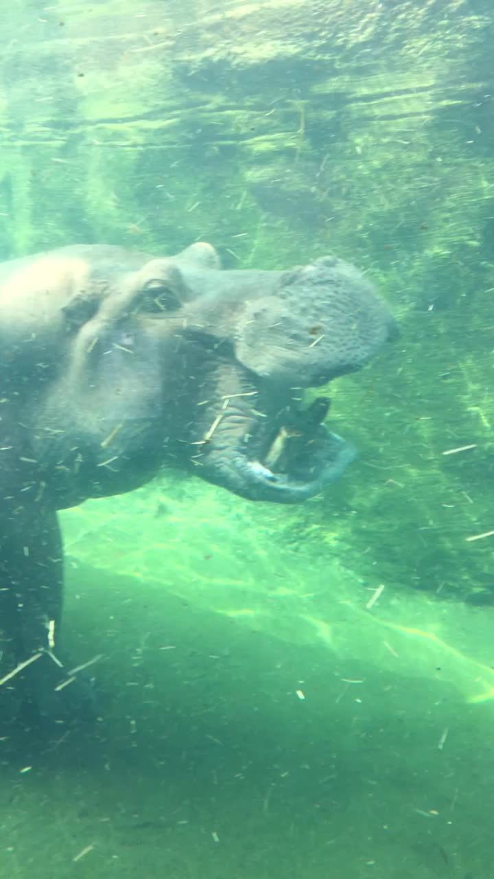 Hippos can open their mouths 150 degrees!