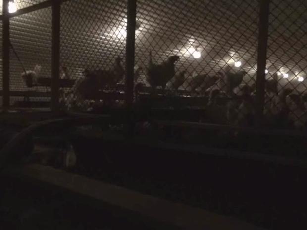 Hönor bakom galler i en stor fabrikslokal