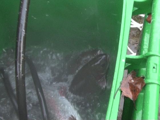 Närbild på fiskar som kastar sig upp ur bubblande vatten