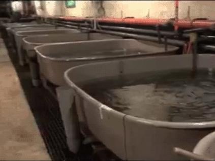 Långa rader med låga kar med fiskyngel
