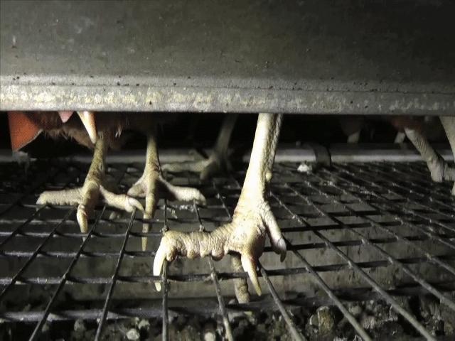 Närbild på hönsfötter på gallergolv