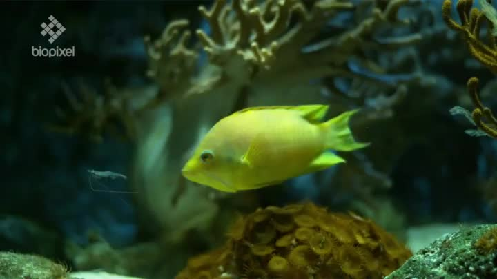 The Sling-jaw wrasse