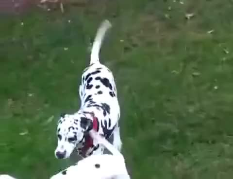 Watch and share Recommended Dalmatian Dogs Mating  Full GIFs on Gfycat