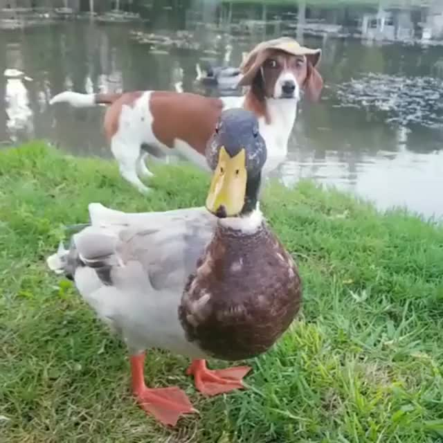 Watch and share Duck GIFs and Dog GIFs by notmyproblem on Gfycat
