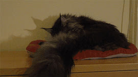 maine coon cat maine coon gif GIFs