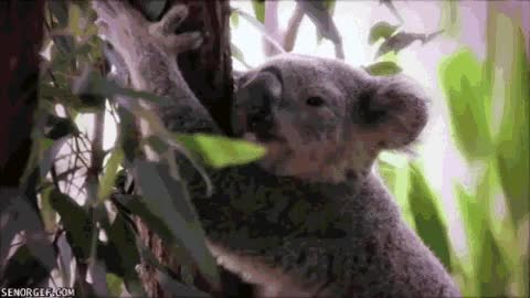 Watch and share Koala GIFs on Gfycat