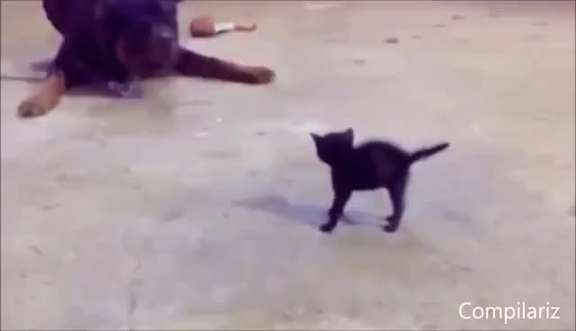 Watch and share Cats Compilation GIFs on Gfycat