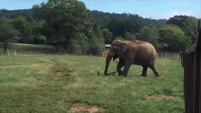 Watch The Elephant Sanctuary | Minnie Plays with Tree Branch GIF on Gfycat. Discover more Minnie, animal enrichment, asian elephant, elephant, elephant sanctuary, elephants, elephantsanctuarytn, q habitat, tennessee, the elephant sanctuary GIFs on Gfycat
