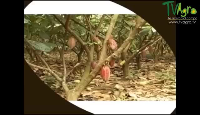 Watch and share Cómo Sembrar Y Convertir El Cacao En Chocolate - TvAgro Por Juan Gonzalo Angel GIFs on Gfycat