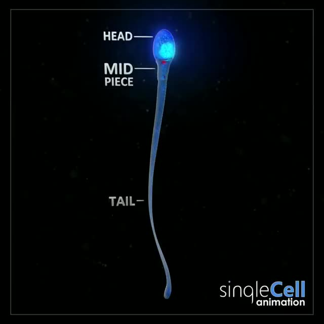 Watch and share Did You Know Sperm Are Among The Smallest Cells In The Body.. Measuring In Ar... GIFs by GIFs For Everything on Gfycat