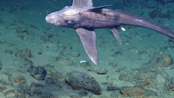 deepseacreatures, interestingasfuck, (gif) Chimaera Ghost Shark (reddit) GIFs