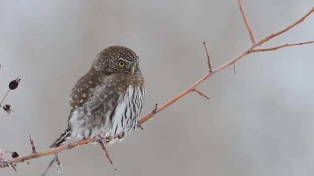 Watch Northern Pygmy Owl False Eyes GIF by Nick (@yunick) on Gfycat. Discover more related GIFs on Gfycat