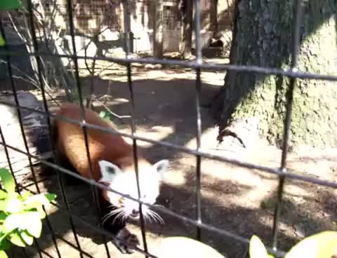 Watch this animal GIF on Gfycat. Discover more Erie Zoo, animal, animals, cute, erie zoo, red panda GIFs on Gfycat