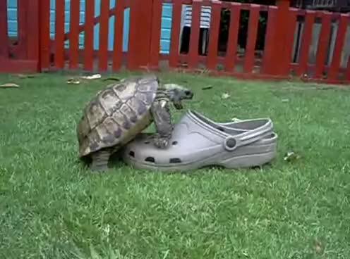 Watch this turtle GIF on Gfycat. Discover more animals, sex, sexy turtle, tortoise, turtle GIFs on Gfycat
