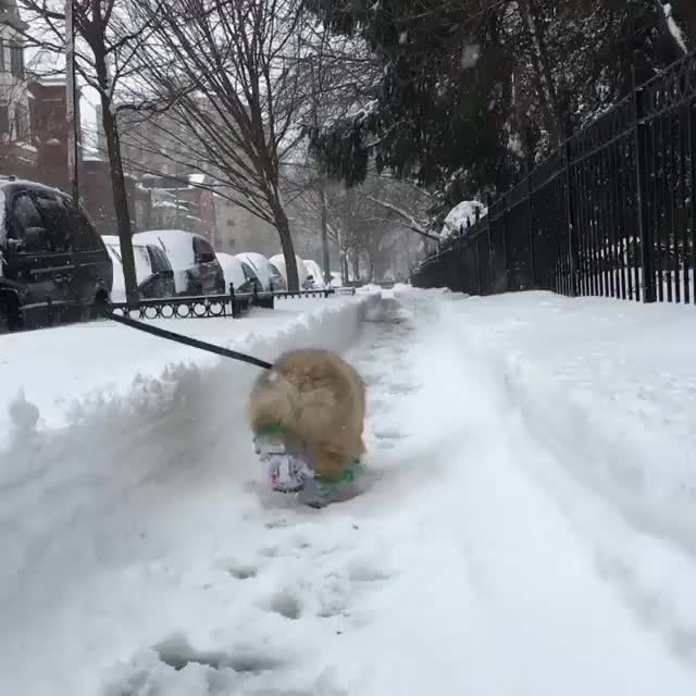 Corgi going for a winter stroll in his booties GIFs