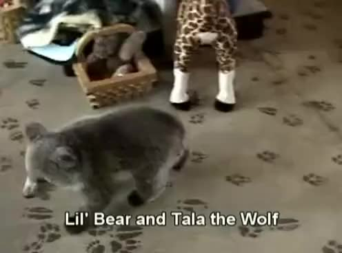 Watch bear cub and wolf cub playing GIF on Gfycat. Discover more rage GIFs on Gfycat