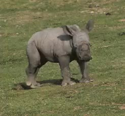 Watch and share Rhinoceros GIFs and Animal GIFs on Gfycat