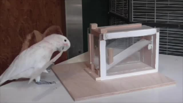 Watch Goffin's cockatoo creating a cardboard tool GIF on Gfycat. Discover more Cacatua goffiniana, Goffin's cockatoo, Ornithology, SciNews, Science & Technology GIFs on Gfycat