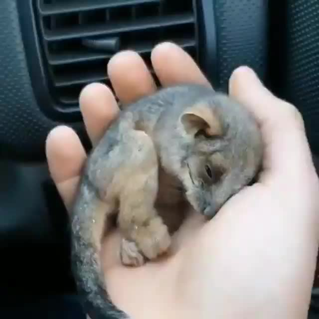 Watch and share Possum GIFs on Gfycat