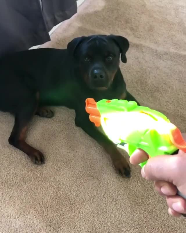 """Watch Taco takes """"play dead"""" a little too serious sometimes lmao. Disclaimer...no Tacos were harmed in the making of this video. GIF by PM_ME_STEAM_K3YS (@pmmesteamk3ys) on Gfycat. Discover more related GIFs on Gfycat"""