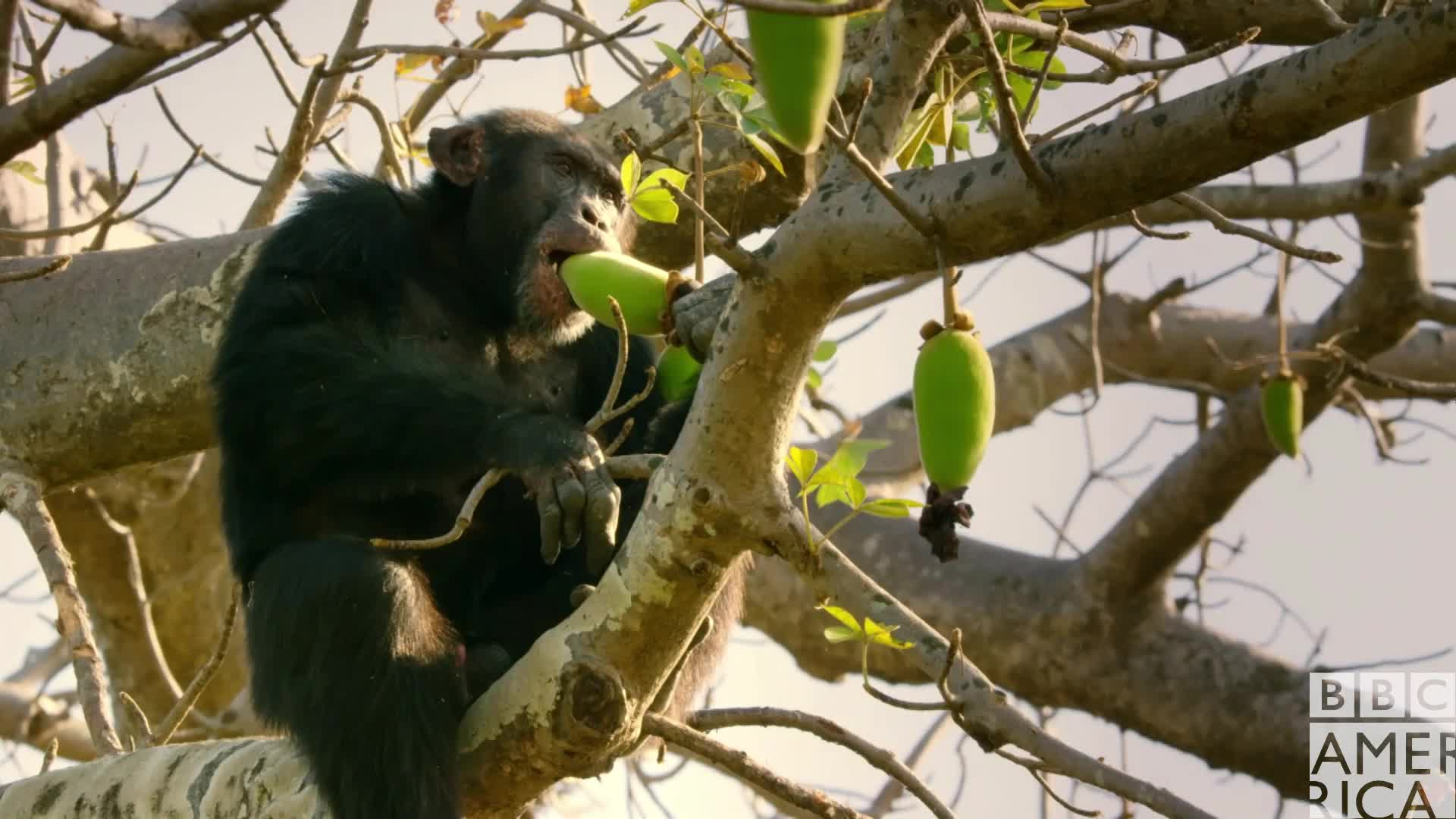 animal, animals, bbc america, bbc america dynasties, bbc america: dynasties, chimp, chimpanzee, chimpanzees, chimps, dynasties, Dynasties Chimp David Eating GIFs