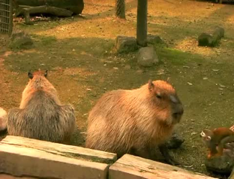 Watch and share Capybaras GIFs on Gfycat