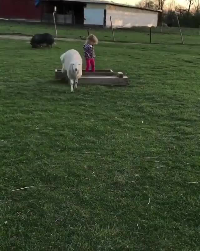 Watch CJ gets the zoomies at Erins Farm Sanctuary GIF by @b12ftw on Gfycat. Discover more erinsfarm, farmanimalrescue, farmanimalsanctuary, farmsanctuary, friendsnotfood GIFs on Gfycat
