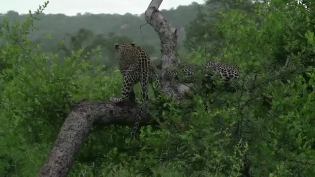 Watch and share Xidulu Cubs Lighter GIFs by Londolozi Game Reserve on Gfycat