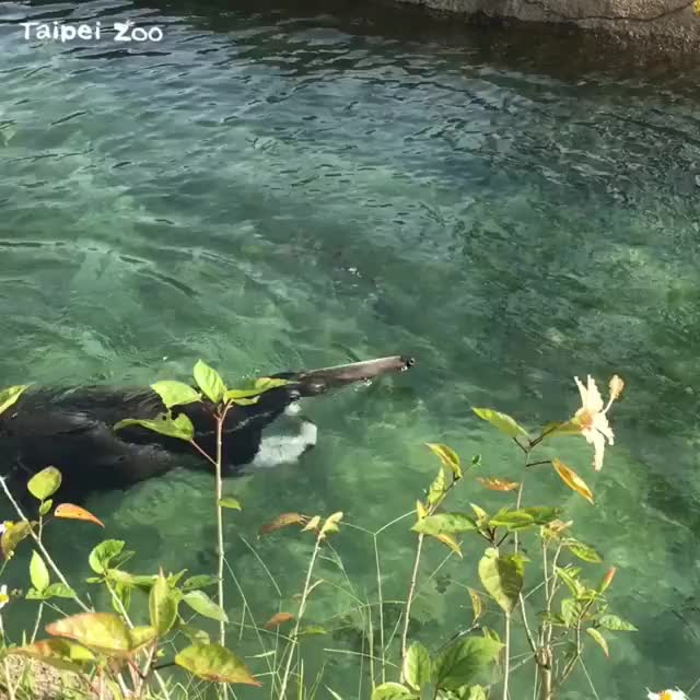 Watch and share Taipeizoo GIFs and Anteater GIFs on Gfycat