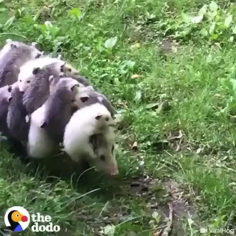 Watch and share This Is How Opossums Carry Their Babies GIFs by ilovedrawnporn69 on Gfycat