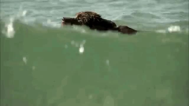 Watch and share Newfie Swim Use GIFs on Gfycat