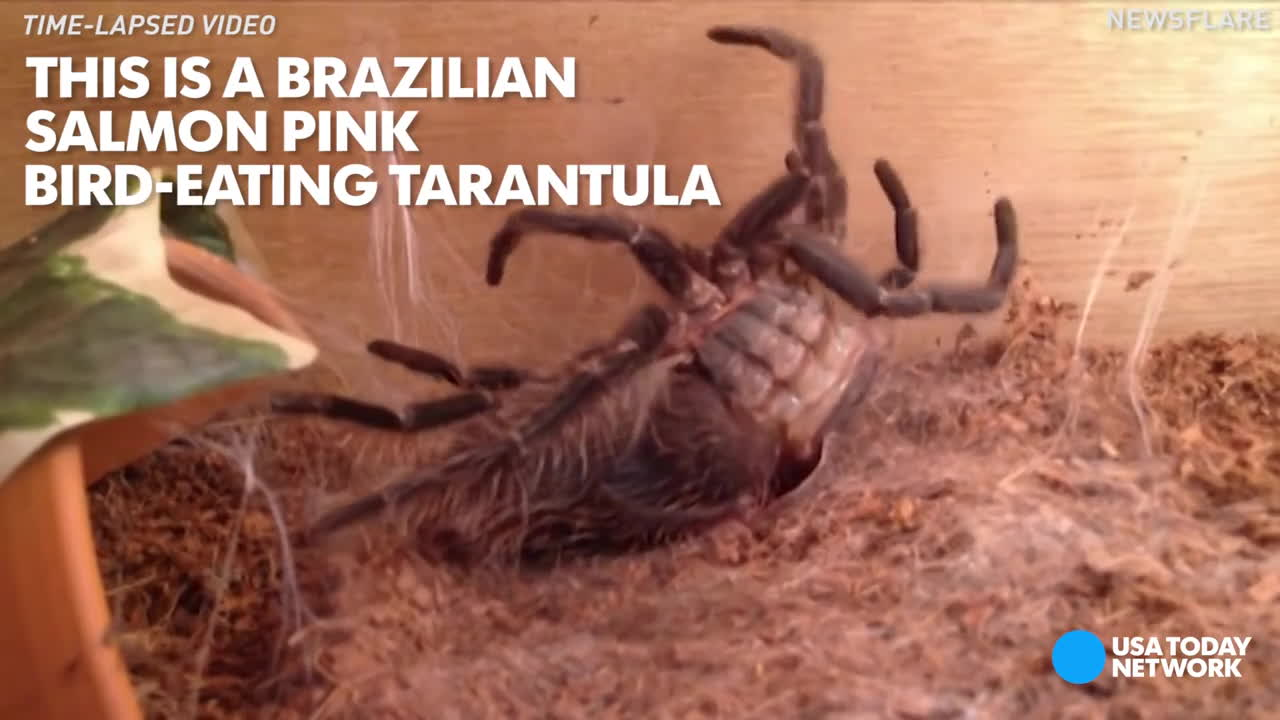natureismetal, shedding skin, tarantula, Moulting spider will make your skin crawl GIFs