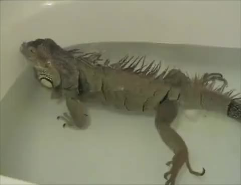 Watch and share Iguana GIFs and Fart GIFs on Gfycat