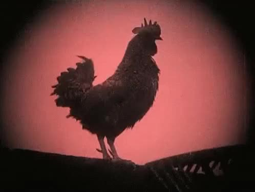 Watch and share Rooster GIFs on Gfycat