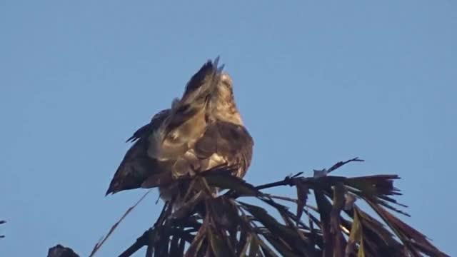 Watch and share Oriental Honey Buzzard (Pernis Ptilorhynchus) GIFs by likkaon on Gfycat