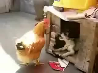 Watch and share Dog Fucking A Chicken GIFs on Gfycat