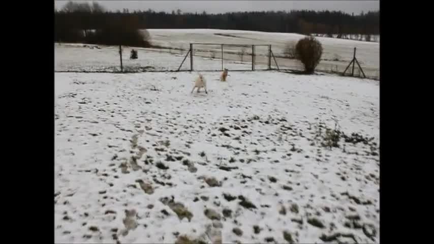 andy, caucasian, dog, dogs, ovcharka, rescue, shegy, shepherd, swiss, white, First Snow in 2017  GIFs