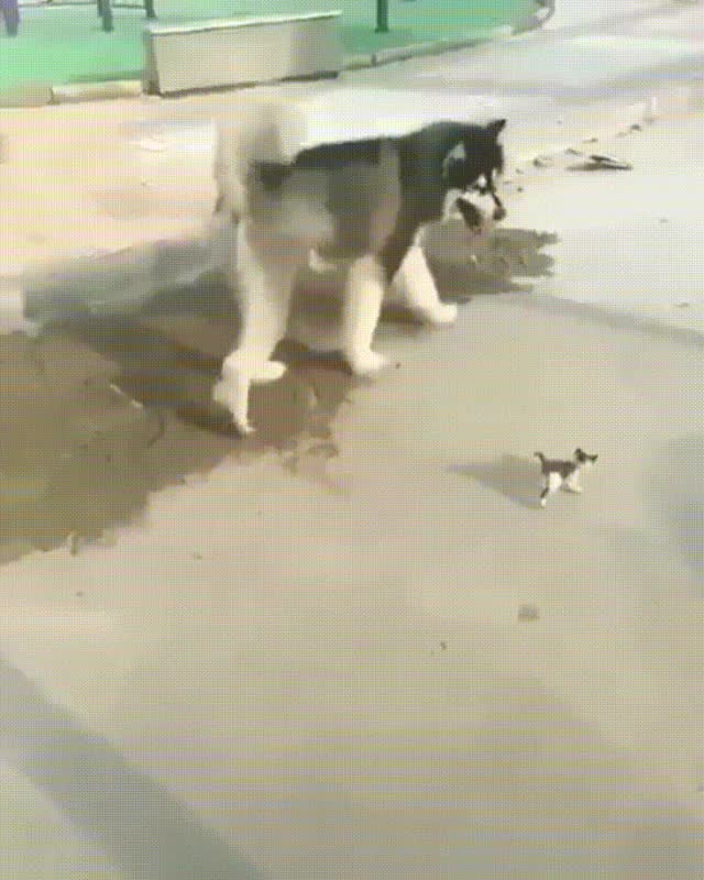 aww, dog, guardian, kitten, Little kitten has it's own personal guardian GIFs