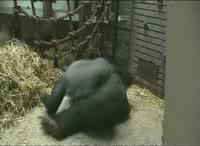 Watch and share Gorilla GIFs on Gfycat