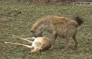 Watch and share Hunting Hyena GIFs on Gfycat
