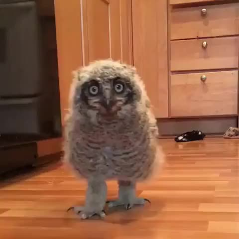Watch and share Curious Baby Owl Spots Camera - 988448 GIFs by Slim Jones on Gfycat