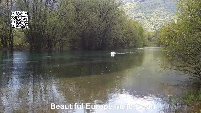 Watch and share Mute Swan Habitat GIFs and Mute Swan Attack GIFs by infotopsupreme on Gfycat