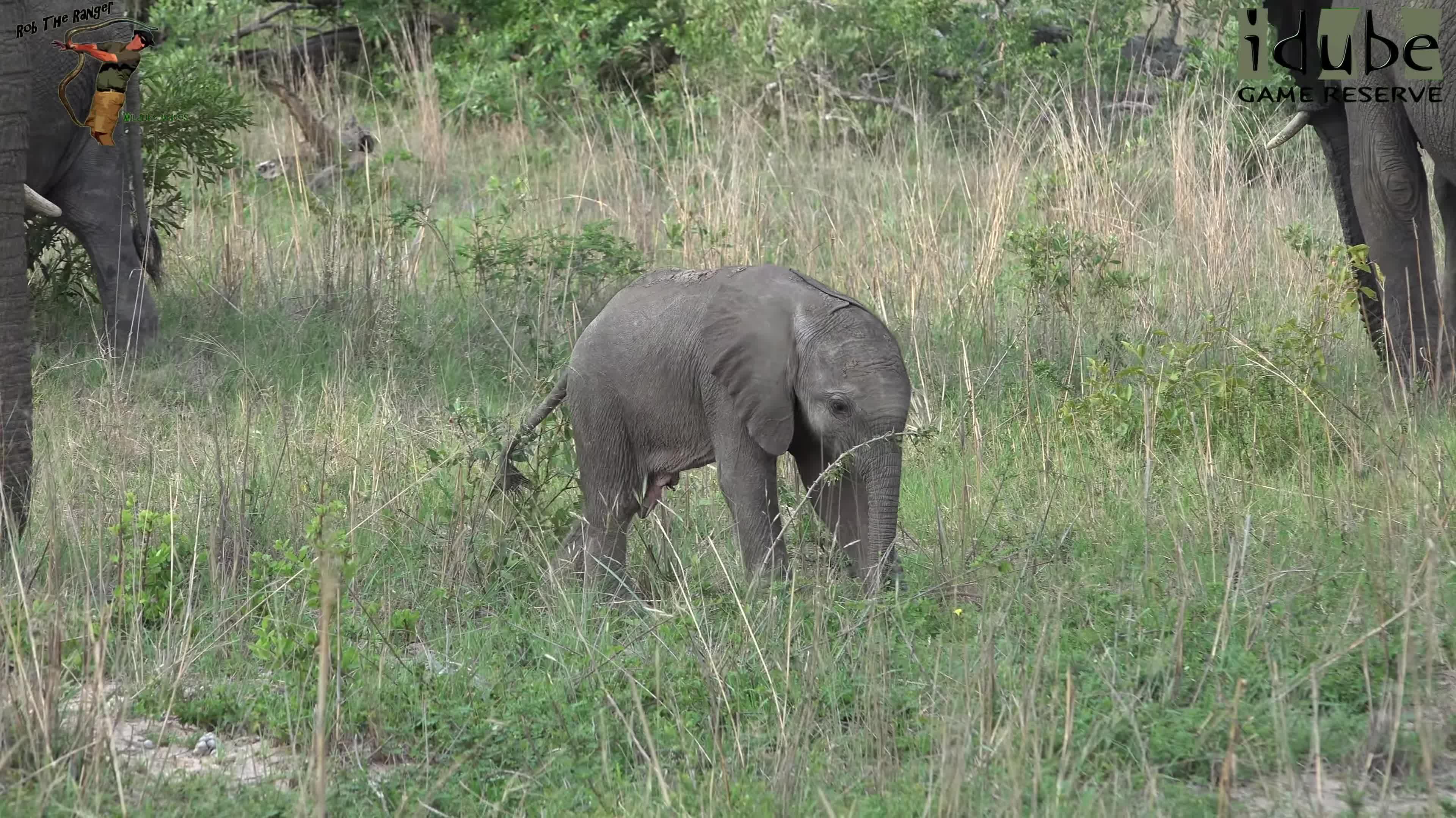 4K Video, African Elephant, Animals, Game Reserve, Kruger National Park, Nature, Wildlife, baby elephant, funny elephants, great wildlife clips, Elephant Herd Antics GIFs