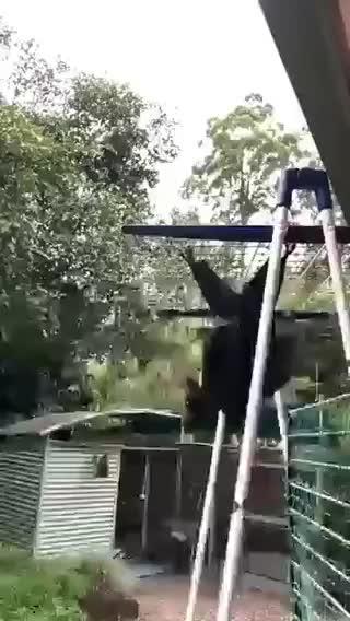 animal, bat, birda, giant bat, The giant bat GIFs