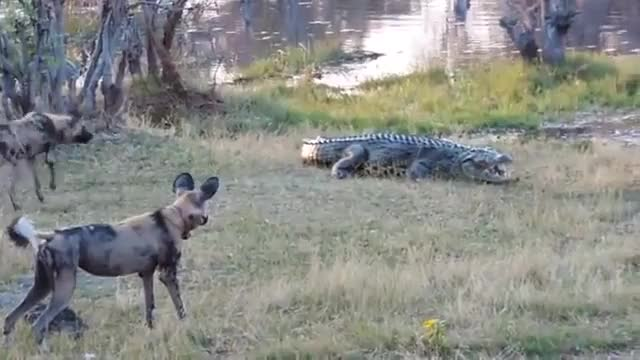 Watch and share African Wild Dogs Vs Crocodile GIFs on Gfycat