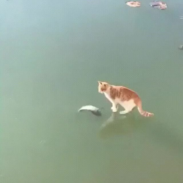 Watch this cat GIF on Gfycat. Discover more cat, fish, ice GIFs on Gfycat